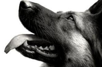 Ces chiens qui sauvent des vies...sans rien attendre en retour..