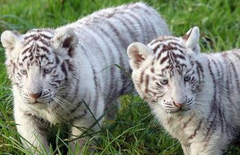 Zoo en Inde : Cinq bébés tigres blancs négligés par leur mère meurent...