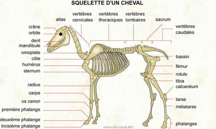 Les os du cheval
