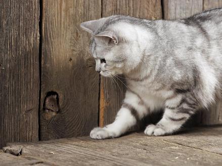 Quelle est votre race de chat préféré?