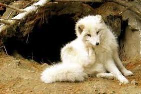 Les renards polaires