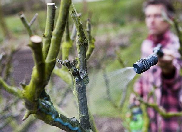 Traitement d'hiver des arbres fruitiers