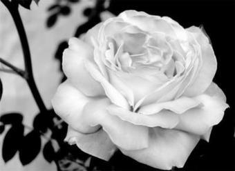 Le rosier de l'amour