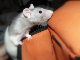 Alors voila comme promis je vous présente Toxine, une petite ratte hooded capée bleu us standard lisse (ouais ca parait long mais c'est ce que ma dit le veto hein x) )