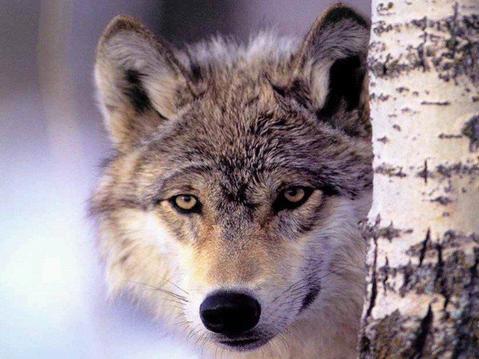 Texte pour le concours de Ambrou (thème : loup)