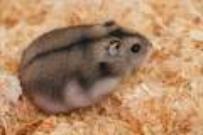 Prochainement l'hamster russe !