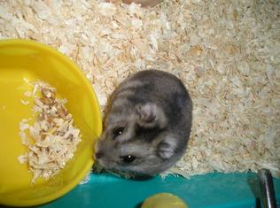 Le hamster russe !