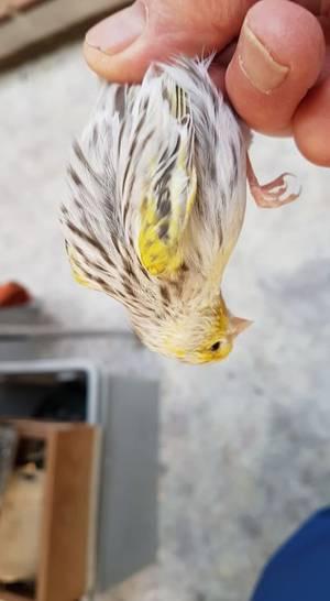 Oiseau en fin de mue