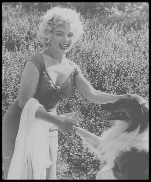 """3 Août 1952 / LA BELLE ET LA BETE / C'est lors de la fête organisée en l'honneur de Marilyn, chez le musicien Ray ANTHONY (""""Ray ANTHONY Party"""") que Marilyn rencontre la célèbre chienne Lassie ; plusieurs photographes immortalisent le moment, notamment Bruno BERNARD ou encore Bob WILLOUGHBY. Lassie est une chienne colley créée par Eric KNIGHT dans son roman de 1940, """"Lassie, chien fidèle"""". De nombreux films et séries télévisées s'en sont inspirés.  Le premier film adapté du roman est """"Fidèle Lassie"""", en 1943. Dans la série """"Lassie"""" tournée de 1954 à 1974, l'animal a plusieurs propriétaires. D'abord Jeff et Timmy des fermiers, puis plus tard le ranger Corey et vers la fin de la série, elle continue son chemin toute seule, sans maître régulier."""
