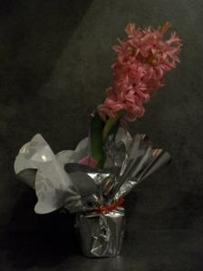 Jacinthe en fleurs offerte par ma soeur avant Noël