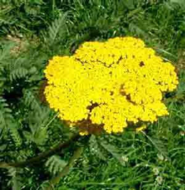 Le Langage des Fleurs   (10774)