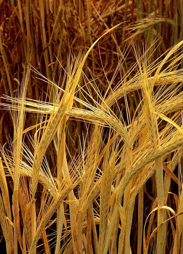 Origines de l'agriculture