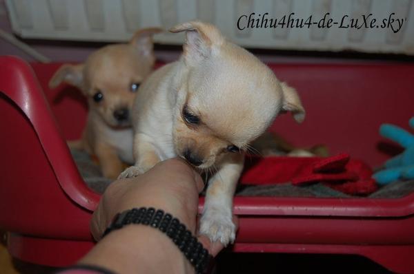 Chihuahua N°11 ♥ (Amandine, 19ans, Grenoble)