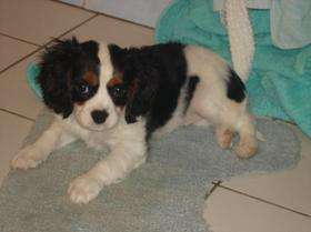 Mes 3 chiennes CAVALIER KING CHARLES: Douska,Ficelle & Izzy !!