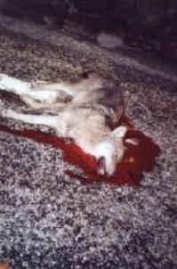 La maltraitance des loups
