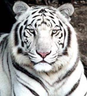 Tigre blanc le tigre - Photo de tigre blanc a imprimer ...