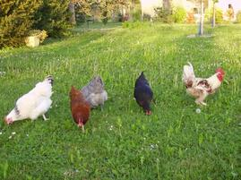 I have chickens
