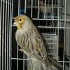 male agate jaune mosaique de 2009