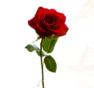 Signification de la rose en angleterre ta source sur le talentueux britannique wade barre - Signification des roses rouges ...