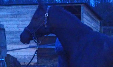 stage de formation du cheval arabe de sport