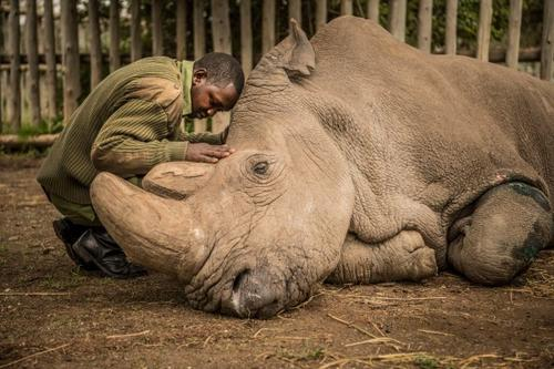 Mort du dernier rhinoceros blanc