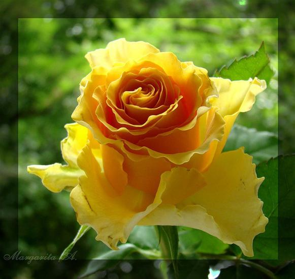 le langage des fleurs les roses jaunes litterature. Black Bedroom Furniture Sets. Home Design Ideas