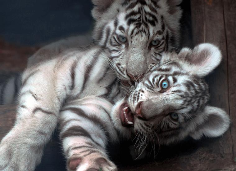 photo  didié au petit tigre d' isabelle