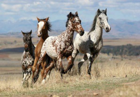 le mustang - les-chevaux-du-12