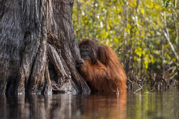 Les grands singes en grand danger