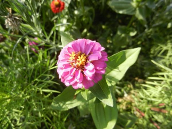 495 fleurs de jach re blog de alpeflor - Fleur de jachere ...