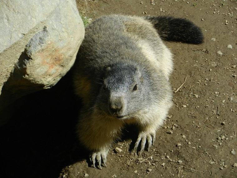657  Les marmottes