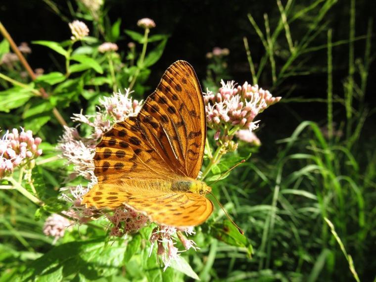 1120  Papillon