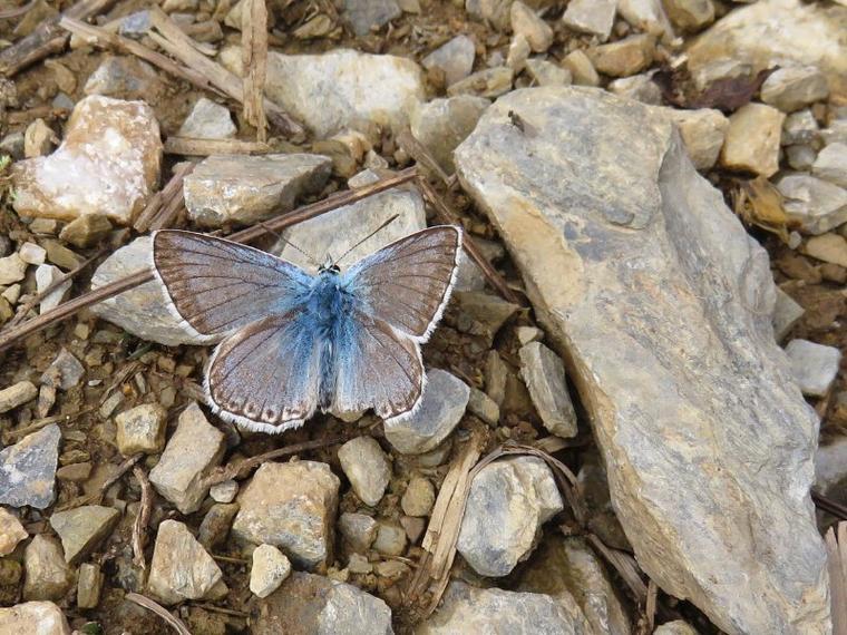 1151   Papillon