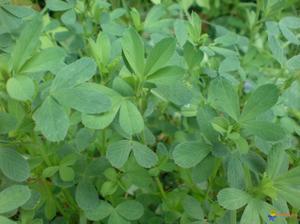 """Articles de NatureAlpha taggés """"plante herbacée fourragère"""" - Nature Gastronomique et Médicinale ..."""