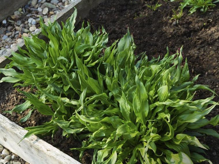 Le salsifis cultivé