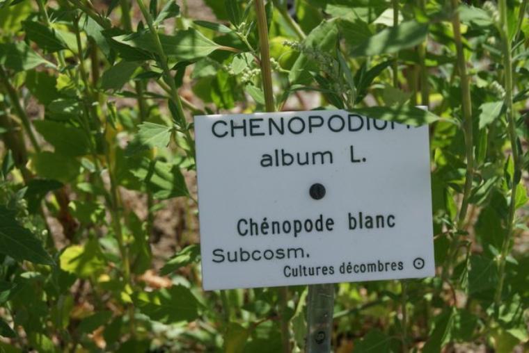 Chénopode blanc