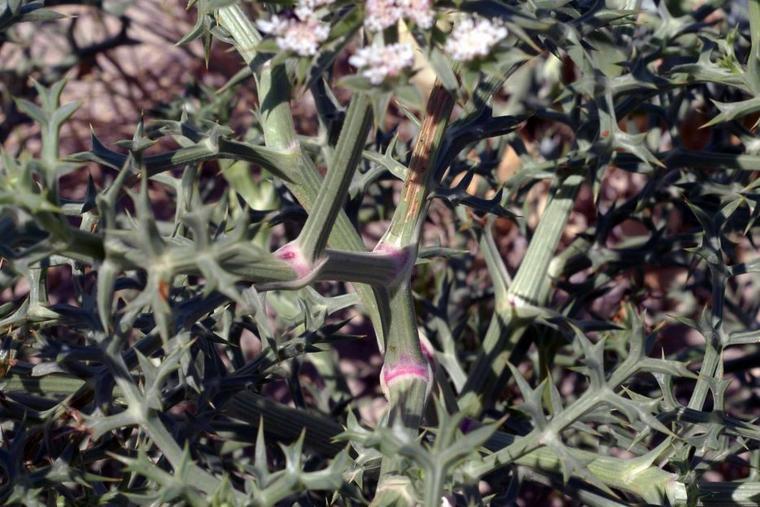 L'Echinophore épineuse