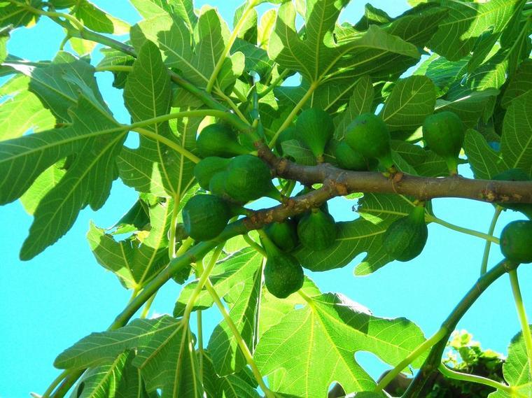 Figuier nature gastronomique et m dicinale - Arbre murier fruit comestible ...