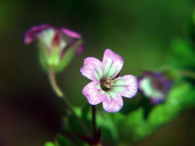 Le Géranium à feuilles rondes