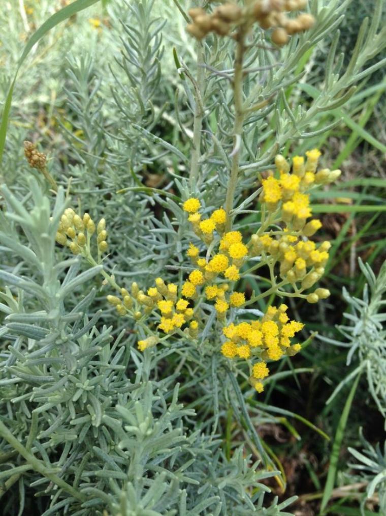 L Immortelle Helichrysum D Italie Nature Gastronomique Et Medicinale