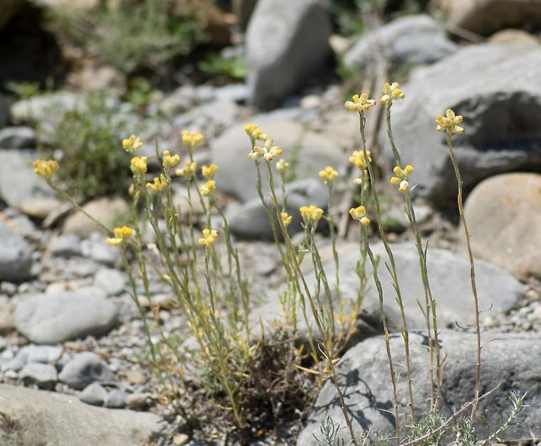 L'Immortelle (Hélichrysum d'Italie)