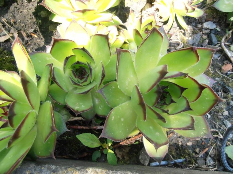 La Joubarbe des toits (Sempervivum tectorum)