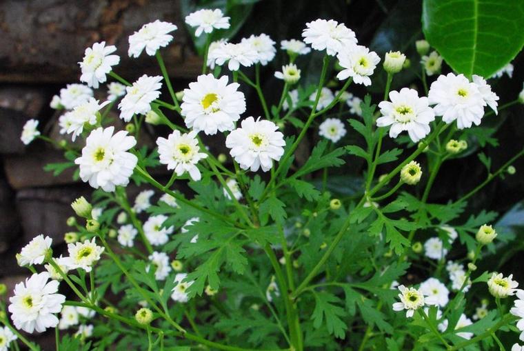 La camomille romaine (Chamaemelum nobile)