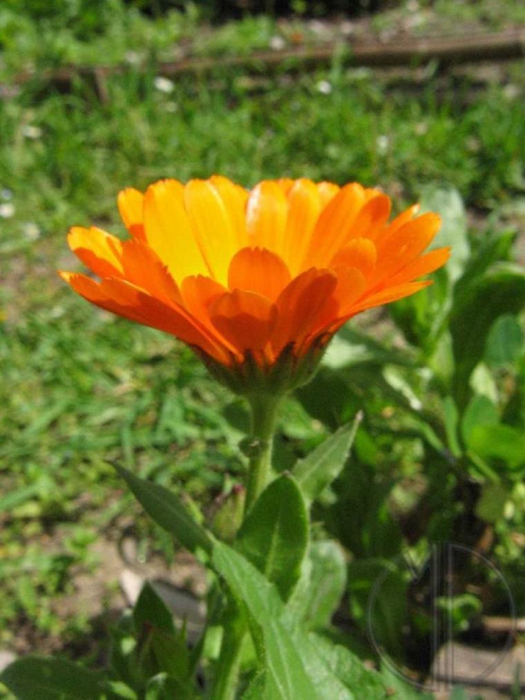 Souci officinal (Calendula officinalis)