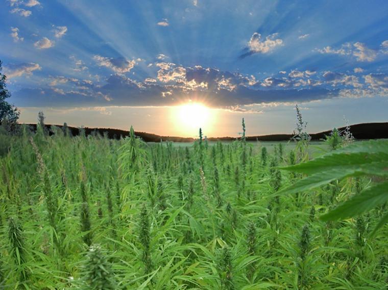 Cannabis , Chanvre