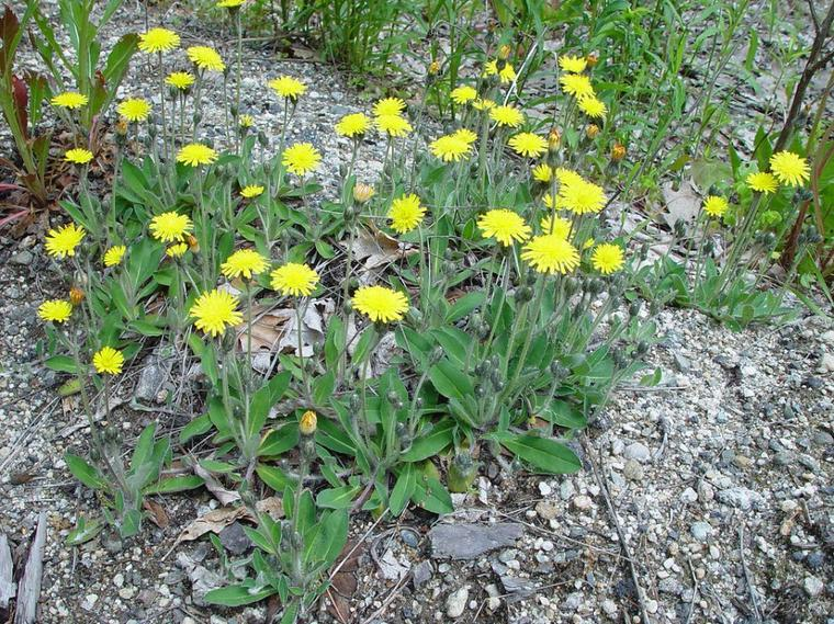La Piloselle (Pilosella officinarum)