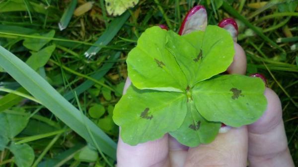 Un trèfle à cinq feuilles