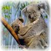 Le Koala, une espèce en danger.