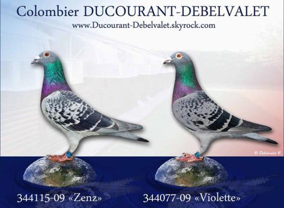 Pigeon en vente