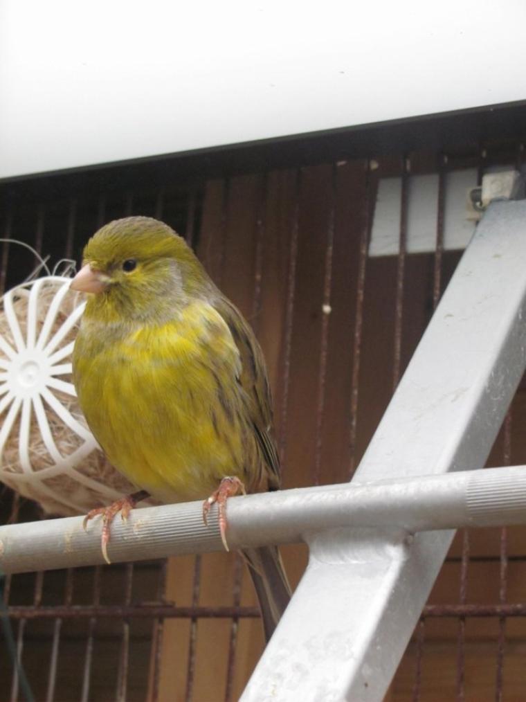 Ma canaris femelle